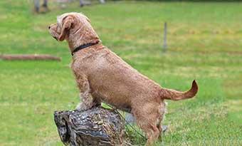 犬のしっぽの振り方でわかる気持ち-下がる-上がる-感情-意味-バセット犬画像2