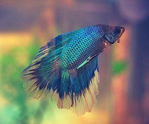 ベタ-飼育-初心者-水槽-水温-水草-飼育方法-ブルー画像