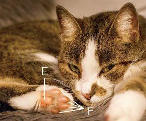 猫の肉球 数 色 肉球の間の毛 切り方 肉球の皮がむける ひび割れる 後ろ足画像