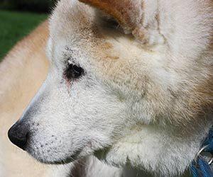 老犬-シニア犬-ご飯食べない-水は飲む-寿命-食事メニュー-おやつは食べる-病気-食欲がない-原因-柴犬画像