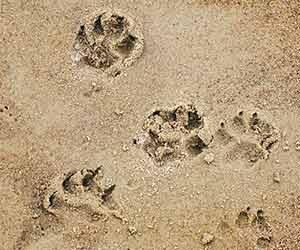 犬-散歩-歩かない-嫌がる-原因-突然-リード-引っ張る-吠える-理由-足跡画像