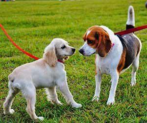 犬-散歩-歩かない-嫌がる-原因-突然-リード-引っ張る-吠える-理由-犬のあいさつ画像