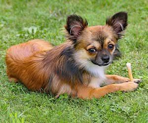 初めて犬を飼う-犬種-準備-費用-チワワ-画像