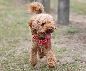 初めて犬を飼う-犬種-準備-費用-プードル-画像