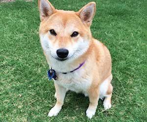 初めて犬を飼う-犬種-準備-費用-柴犬-画像