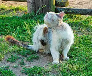 外猫を家猫にする方法-ノミ-画像