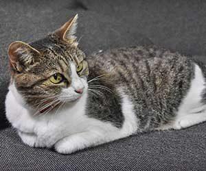 猫-前足-たたむ-フミフミ-前足でチョンチョン-香箱座り-画像