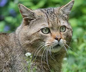 猫-人間-いつ-どこで-ワイルドキャット-画像