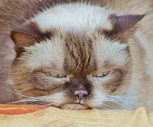 猫-平安時代-画像