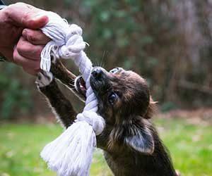 犬,オモチャ,引っ張りっこ,オスワリ,教え方-飼い主-画像