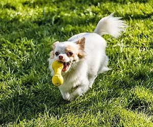 犬,オモチャ,引っ張りっこ,オスワリ,教え方-画像