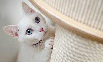猫の爪とぎ-気持ち-理由-飼い主に-ポール白猫画像2