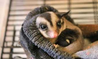 フクロモモンガ-爪切り方法-頻度-飼育-画像