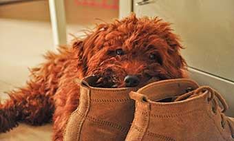 犬が靴を噛む-犬が靴下を噛む理由-靴下を持っていく-靴を持ってくる-室内-画像