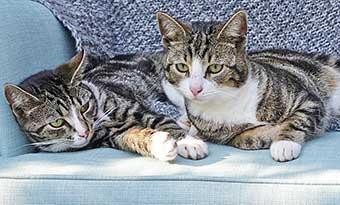 猫-多頭飼い-ご飯-トイレ-順番待ち-ソファの上-画像