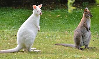 アルビノ-白変種-違い-カンガルー-画像