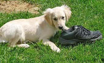 犬が靴を噛む-犬が靴下を噛む理由-靴下を持っていく-靴を持ってくる-庭-画像