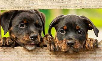 子犬-甘噛み-いつまで-止めない-理由-意味-止めさせる-しつけ-兄弟-画像