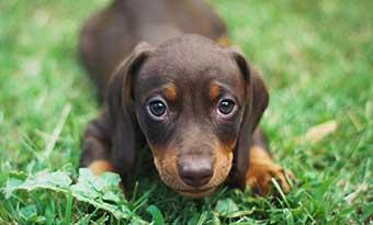 子犬-甘噛み-いつまで-止めない-理由-意味-止めさせる-しつけ-かわいい-画像
