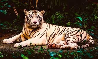 アルビノ-白変種-違い-ホワイトタイガー-画像