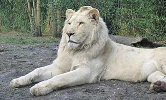 アルビノ-白変種-違い-ホワイトライオン-画像