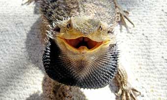 フトアゴヒゲトカゲ-口を開ける-理由-威嚇-画像