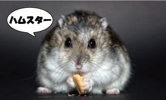 モルモット-ハムスター-違い-寿命-食事-画像2