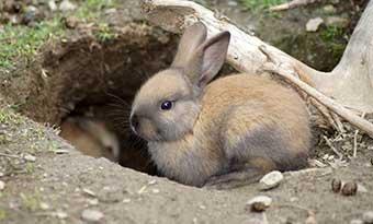 ウサギ-カーペット-掘る-かじる-理由-前足-バタバタ-ストレス-グッズ-野ウサギ-画像