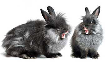 ウサギ-鳴き声-種類-意味-ブウブウ-キュウキュウ-キーキー-プップッ-危険-画像