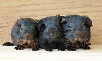 モルモット-鳴き声-意味-グルグル-キュルキュル-キュイキュイ-クルクル-プイプイ-種類-多頭飼い-画像