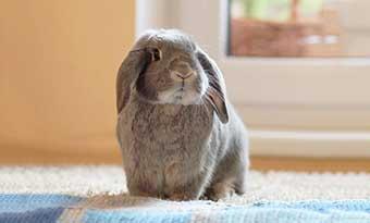 ウサギ-急に走る-突然暴れる-理由-画像2