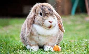ウサギ-換毛期-ない-毛が抜けない-理由-画像2