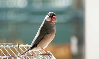 文鳥-鳴き声-意味-キューキュー-ヒューヒュー-クルクル-ポポポ-キュッキュッ-種類-画像1