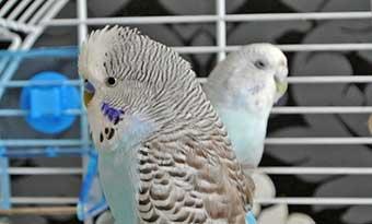 インコ-文鳥-オウム-ケージ-噛む-原因-対策-画像1