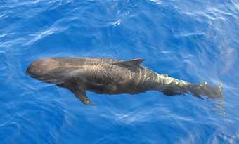 クジラ-水族館-一覧-ゴンドウクジラ-イルカ-違い-画像