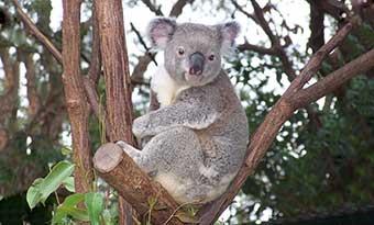 コアラがいる動物園一覧-関東-関西-中部-九州-抱っこ-画像