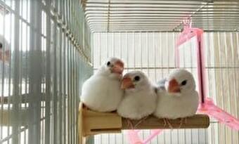 文鳥 複数飼い ケージ 画像