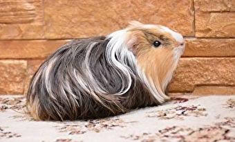 モルモット,毛が長い,種類 画像1