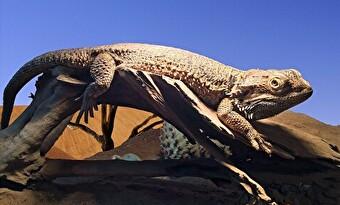 フトアゴヒゲトカゲ 木の上 画像