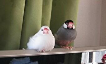 文鳥 複数飼い 画像