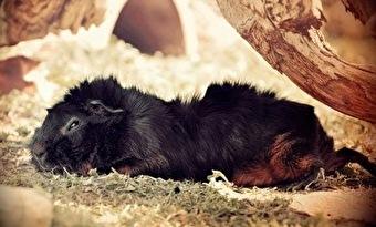 モルモットの寝る時間 画像2