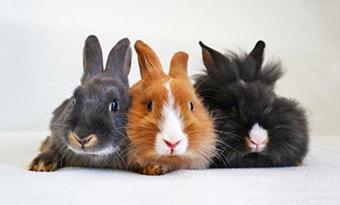 ウサギ,毛の色,変わる,換毛期