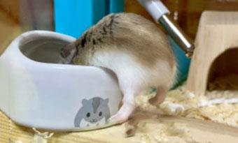 ハムスター,餌を隠す,餌を溜め込む,理由,すぐなくなる,1日の餌の量,画像2