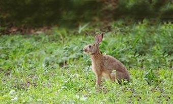 ウサギ,毛の色,変わる,換毛期,ニホンノウサギ