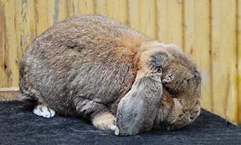 ウサギ-換毛期-ない-毛が抜けない-理由-画像3