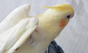 インコ,バタバタ,羽を広げる,羽を浮かせる,片方の羽を上げる,画像2