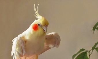インコ,バタバタ,羽を広げる,羽を浮かせる,片方の羽を上げる,画像1