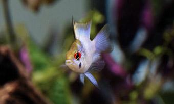 エビを食べる熱帯魚,画像1