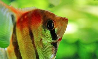 エビを食べる熱帯魚,画像2