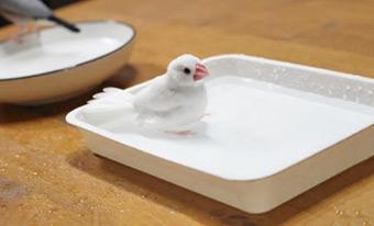 文鳥,水浴び後,鳴く,震える,臭い,画像1